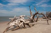 image of driftwood  - Sand blasted and weather worn trees line the beach like large driftwood at Folly Beach in South Carolina - JPG