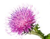 stock photo of scottish thistle  - the Cotton Thistle flower isolated on white background - JPG