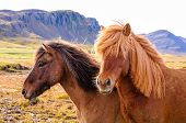 pic of iceland farm  - The Icelandic horse is a breed of horse developed in Iceland - JPG