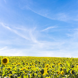 stock photo of heliotrope  - Field of heliotropic yellow sunflowers in summer sunlight with their heads turned to face the source of the sun as their seeds ripen to provide sunflower oil and animal fodder  - JPG