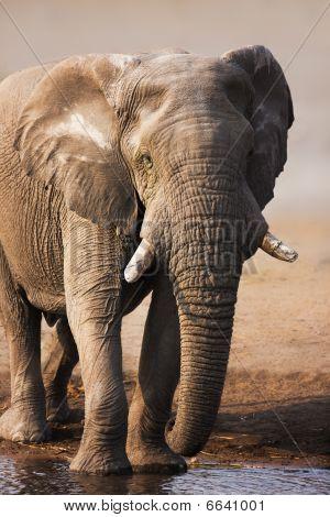 Elefante beber