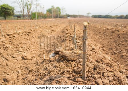 Cassava Cultivation