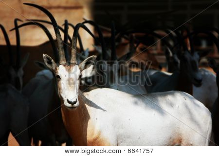 Group Of Scimitars - Horned Oryx