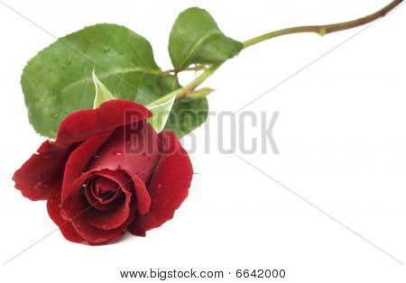 Red Long Stem Rose