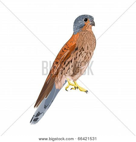 Kestrel Predatory Bird