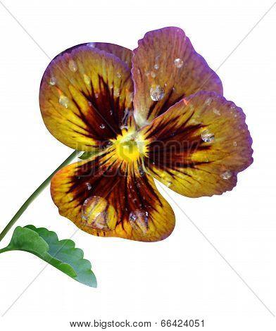 pansy viola flower nature macro
