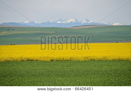 Blooming Canola Fields