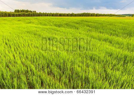 Field of germinating grain.