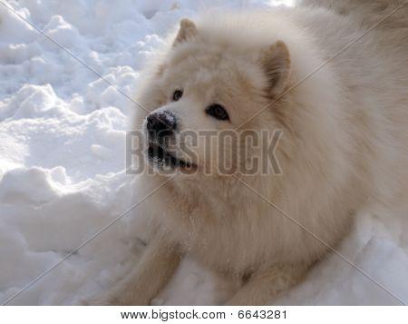 Jogo de cão samoiedo na neve