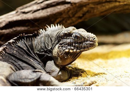 Cuban Ground Iguana In A Zoo