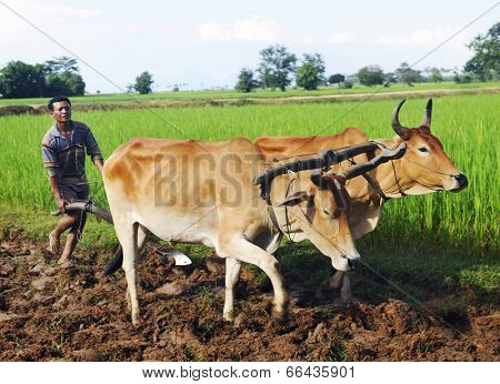 Camodian local farmer ploughing the soil.