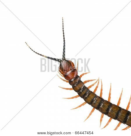Centipede Isolated