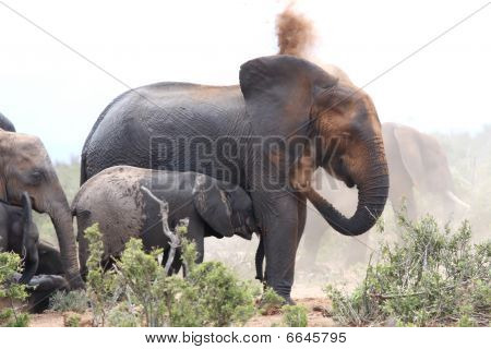 African Elephants Dusting
