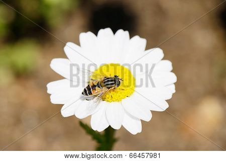 Bee on a white marguerite flower in summer