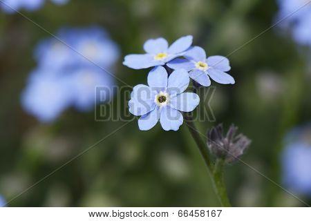 closeup of blue myosotis flowers in spring