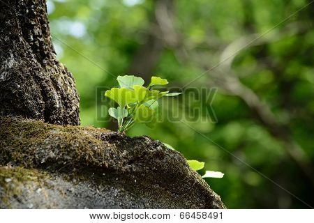 closeup of young ginko leaves in sunny day