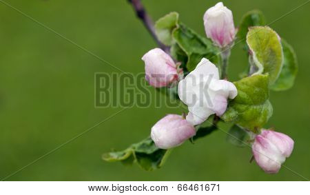 Buds, flowers on an apple tree.