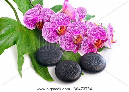 Beautiful Spa Still Life Of Blooming Branch Stripped Violet Orchid (phalaenopsis ) On The Big Green