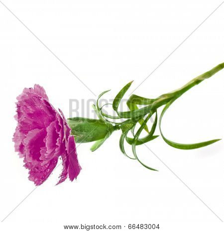 carnation flower isolated on white background