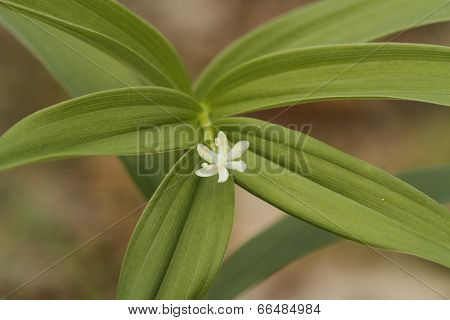 Star-flowered Solomon's Seal