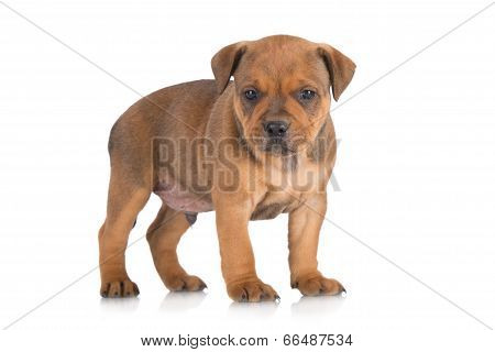 adorable staffordshire bull terrier puppy