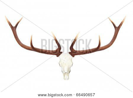 Skull with antlers isolated on white background.