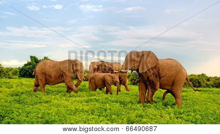 African Elephants In Bush Savannah. Botswana, Africa.
