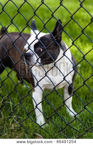 Dog Behind Chain-linked Fence