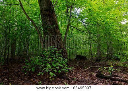 Broken Linden Tree Still Alive
