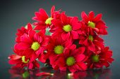 stock photo of chrysanthemum  - beautiful bouquet of red chrysanthemums on a black background - JPG