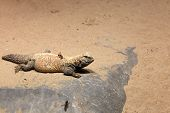 stock photo of terrarium  - Lizard on a sand in the terrarium at zoo - JPG
