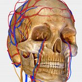 foto of cranium  - The human skull is a bony structure - JPG