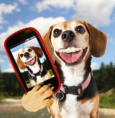 stock photo of puppy beagle  - a cute beagle looking at the camera - JPG