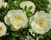 image of climbing roses  -  Close - JPG