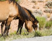 pic of open grazing area  - free roaming mustangs in the Pryor Mountain wild horse range in Wyoming - JPG
