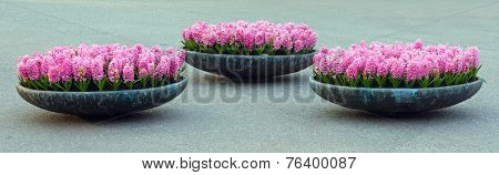 Three Flowerbeds With Pink Hyacinths