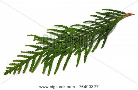 Thuja Branch On White Background