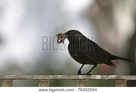 A Crow With Worms In Its Neb