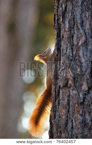 Red Squirrel On Tree
