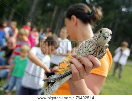 Young Kestrel In The Hand Of An Environmentalist.