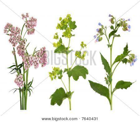 Geneeskrachtige kruiden In bloei