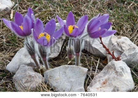 Crocuses And Stones