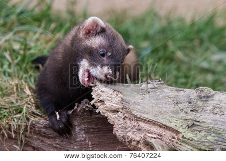 Polecat Kit Biting