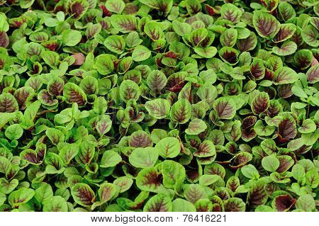 edible amaranth grow in vegetable garden