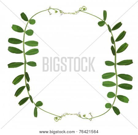 frame from green pea tendrils isolated on white background