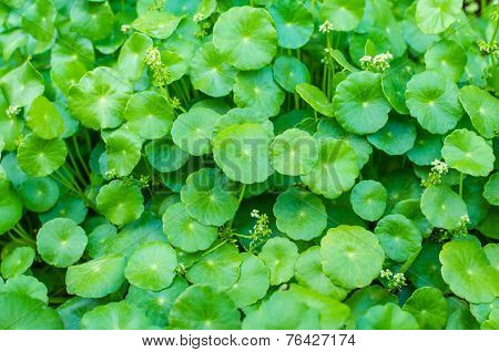 Asiatic Pennywort Green Plant