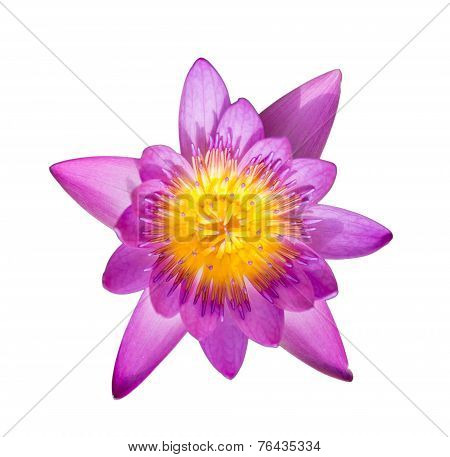 Lotus Aquatic Flora Blossom Isolated On White Blackground