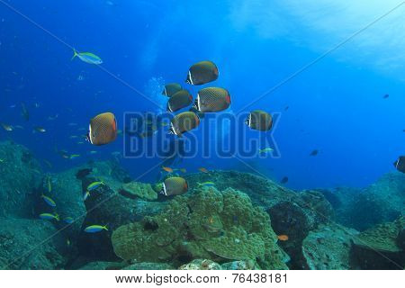 Butterflyfish and scuba divers on coral reef