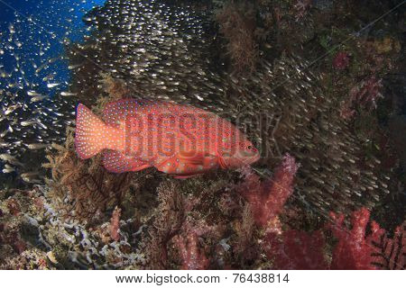 Grouper fish on coral reef