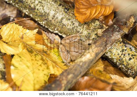 Brown Frog Hidden Between Autumn Leaves